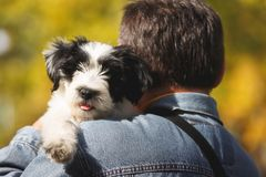 Man and his puppy outdoors. Rear view of a man holding a Tibetan terrier puppy on shoulder, selective focus Stock Images