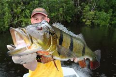 Man Holding A Peacock-bass &x28;Cichla Temensis&x29; In Amazonia