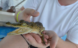 Man is holding baby crocodile in Sri Lanka. Sri Lanka. Man is holding baby crocodile Stock Image