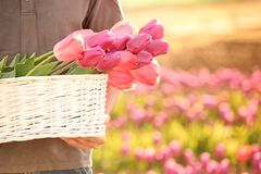 Man holding basket with blossoming tulips outdoors. On sunny spring day royalty free stock image