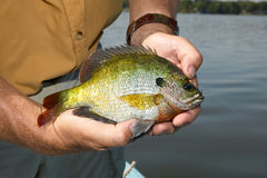 Man holding bluegill fish. Fisherman holding bluegill fish in close-up, Lepomis macrochirus Stock Photography