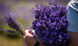 Man holding a bouquet of lavender immediately after harvest Stock Photography