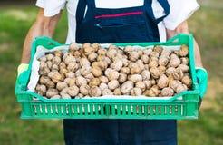 Man holding box full of walnuts Royalty Free Stock Image