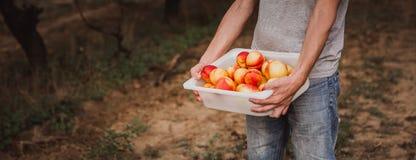Man holding a box full of organik nectarines. Ingathering royalty free stock image