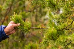 Man holding a branch of pine with rain drops on needles royalty free stock photos