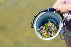 Man holding bucket with self-picked blue mussels, Waddensea, Net. Man holding bucket with self-picked blue mussels standing in shallow water at low tide on Stock Photography