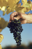Man holding bunch of black grapes Yarra Valley Victoria Australia Stock Image