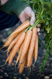 A man holding a bunch of carrots Stock Image