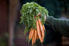 A man holding a bunch of carrots Royalty Free Stock Image
