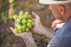 Man holding bunch of white grapes in hands stock photo