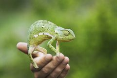 Man holding chameleon close-up of hand Stock Photo
