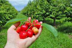 Man holding cherries on hand Royalty Free Stock Images