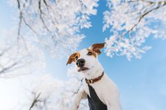 Man holding cute puppy Jack Russel in hands, in sunny frosty winter day stock photo
