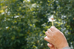 A man holding a dandelion in hand, you can tear it, making a wis. H Royalty Free Stock Photos