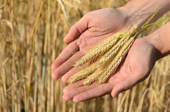 Man holding ears of wheat Royalty Free Stock Images