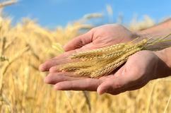 Man holding ears of wheat Stock Photo