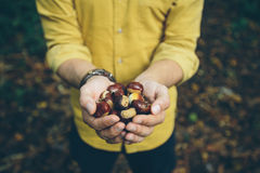 Man holding fresh chestnuts picked from forest floor. Man wearing yellow shirt holding handful of fresh chestnuts picked fresh from the forest floor in the Kent royalty free stock photo