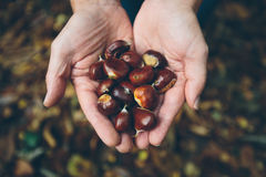 Man holding fresh chestnuts picked from forest floor. Man wearing yellow shirt holding handful of fresh chestnuts picked fresh from the forest floor in the Kent stock photos