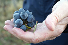 Hand holding freshly picked winery grapes. Man holding a bunch of freshly picked grapes in a vineyard; ready for harvest stock images