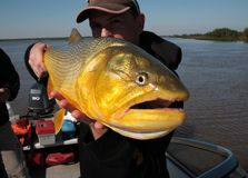 Man holding Golden Dorado on the Rio Parana (La Paz, Argentina) Royalty Free Stock Images