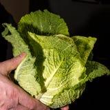 A man holding a green cabbage Stock Photos