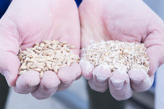 Man holding handful of malt seeds. Close-up of man hands full of dried and fresh malt seeds Stock Image