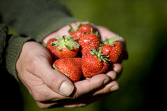 A man holding a handful of strawberries, close-up Royalty Free Stock Image