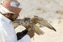 Man holding his falcon before using it to hunt birds stock image