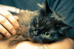 Man holding his maine coon cat at home Royalty Free Stock Photography