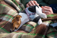 Man holding his sleeping cute small dog Jack Russell terrier on the plaid. Stock Image