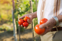 Man Holding Home Grown Tomatoes Royalty Free Stock Photos