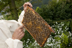 Man holding honeycomb. While bees work Royalty Free Stock Image