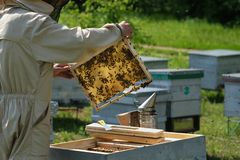 Man holding a honeycomb full of bees. Beekeeper in protective workwear inspecting frame at apiary. stock image