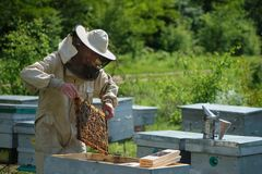 Man holding a honeycomb full of bees. Beekeeper in protective workwear inspecting frame at apiary. Man holding a honeycomb full of bees. Beekeeper in protective royalty free stock photo