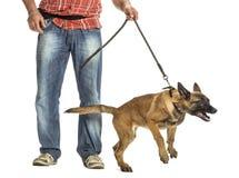 Man holding leash of aggressive Belgian Shepherd. Against white background Royalty Free Stock Images