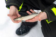 Man holding little pike fish. Winter fishing on ice. Relaxing in the wild stock photo
