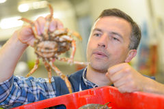 Man holding live crab. Man holding a live crab Royalty Free Stock Photos