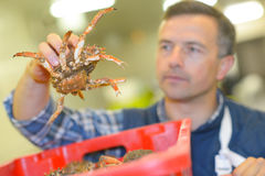Man holding live crab Royalty Free Stock Images