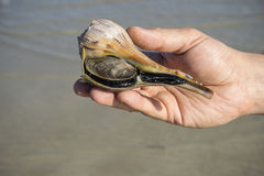 Man Holding a Live Lighting Whelk by the Sea #1 Royalty Free Stock Photos