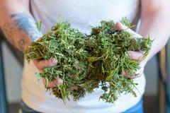 Man Holding Marijuana and Hemp Seeds Stock Images