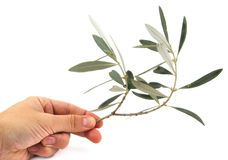 Man holding an olive tree branch on a white Stock Photography