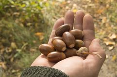 Man holding in the palm of acorns that have fallen from oak in the background grass Royalty Free Stock Image