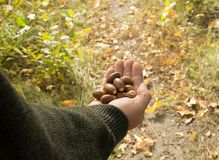 Man holding in the palm of acorns that have fallen from oak in the background grass Royalty Free Stock Photos