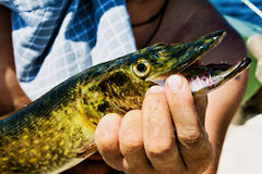 Man holding a pike with mouth open Stock Photos