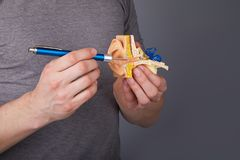 Man holding and pointing with Medical otoscope on the  model of the human inner ear. Ear model. A model of the ear for elementary science classes stock image