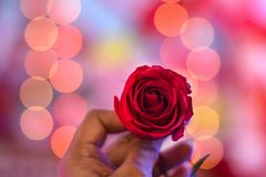 A rose`s rarest essence lives and love stock photo