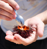 Man holding a sea urchin for eating it on the beach Royalty Free Stock Photography