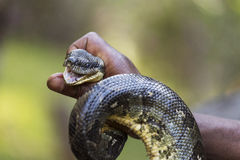Man holding a snake in hand Stock Photography
