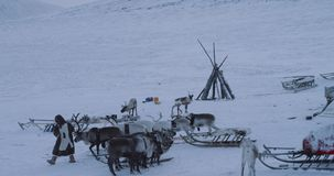 Man holding some reindeers preparing to have a ride with reindeers on a sleigh, in the middle of tundra in yurts camp. Snow day. 4k stock video footage
