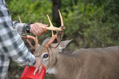 Man Holding Whitetail Buck Deer Antlers While Eating. Image of my father holding a whitetail buck deer`s velvet-shedding antler while feeding him corn in our royalty free stock image